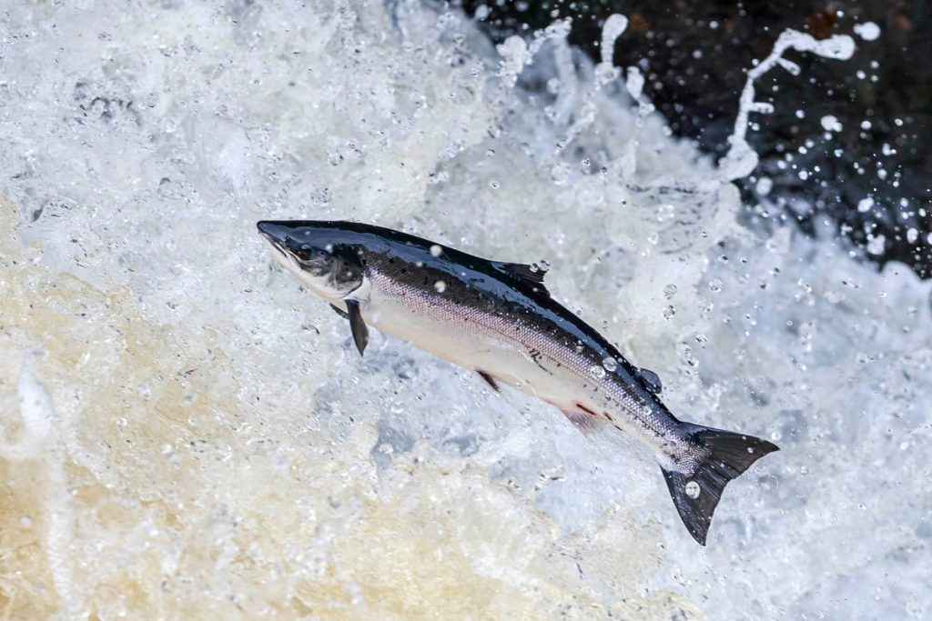 Sea Lice reduce adult salmon returns
