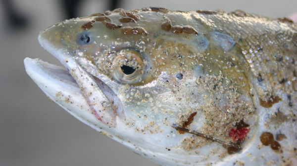 Sea Lice in aquaculture areas cause an extinction vortex for sea trout
