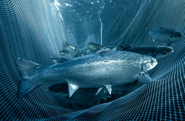 Open Net Cages -Sea Lice and Disease Control